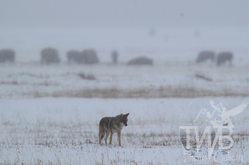 a Coyote , at the perimeter of a Bison herd, upper flats, the Grand Teton N.P.
