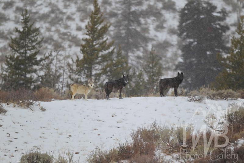 wolves of the Grand Teton N.P.., early December ; Phantom Springs Pack