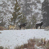 wolves of the Grand Teton N.P.., early December ; Phantom Springs Pack