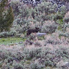 a dark Blacktail wolf moving through the sage just east of the Ponds, Yellowstone N.P.