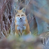 in a thicket close to Gore Creek, a fox takes a moments rest, in Vail, Colorado