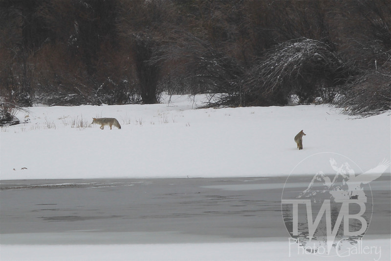 a Coyote pair, moving through the banks by Oxbow Bend in early December