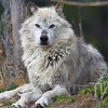 a restful but alert moment for this grey-white wolf