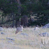 a coyote,in search of dinner, Rocky Mountain N.P.