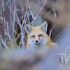 the attentive eyes of a fox , in Vail, Colorado