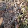 the hunt continues, for a young Coyote near Antelope Flats, Grand Tetons N.P.,Wyoming
