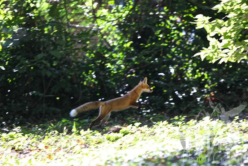 """"""" Fox Trot """""""