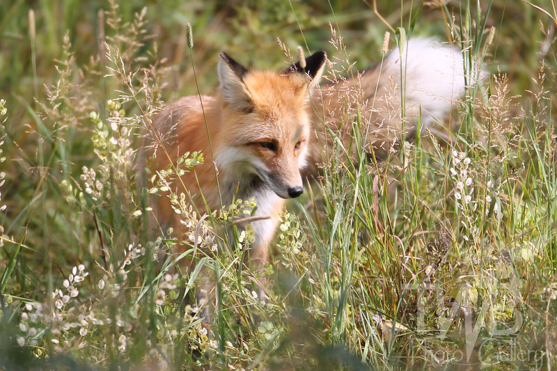 a curious Red Fox, Tower, Yellowstone N.P.