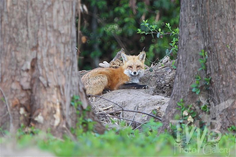 a female Red Fox