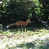 running the perimeter, a fox in Wild Acres, Overland ,Misssouri