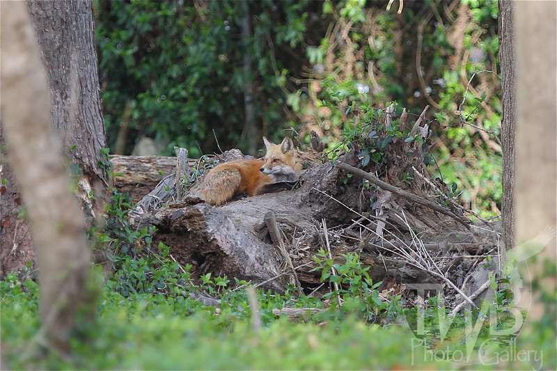 a rest from her busy kits, a Red Fox in Wild Acres Park