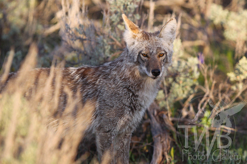 starting to shed a winter coat, a Coyote on the hunt in the deep sage, Grand Teton N.P.