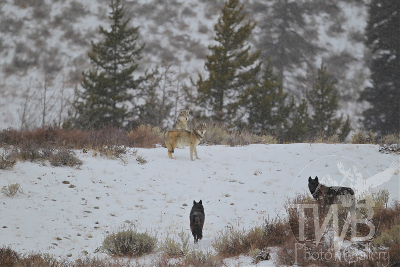Wolves of Grand Teton N.P., on a small rise, just off Moose-Wilson Rd., Wyoming;believed to be the Phantom Springs Pack