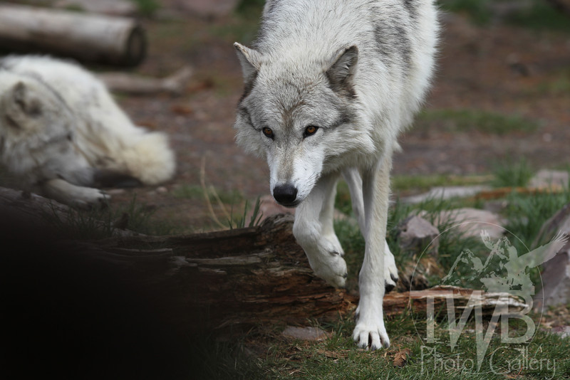 restless and on the move, light grey wolf moves about the pack