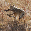 """lunch to GO"" coyote taking his meal on the run, Tower, Yellowstone N.P."