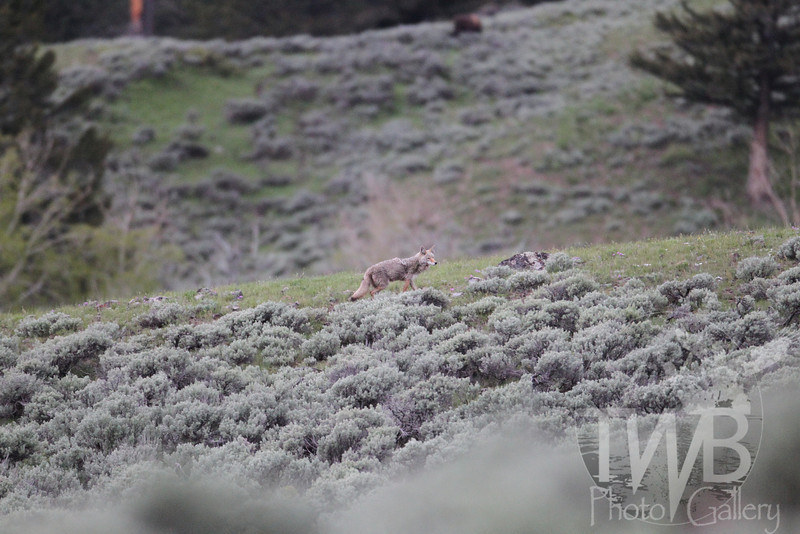 walking the perimeter, a solitary coyote, Lamar Valley, Yellowstone N.P.