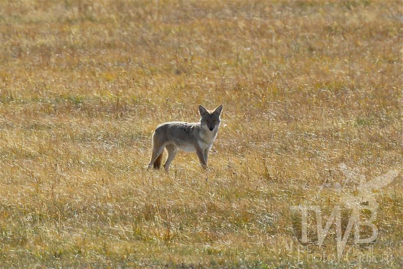 """""""focused"""" a coyote stalking prey in Grand Teton N.P."""