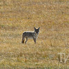 """focused"" a coyote stalking prey in Grand Teton N.P."