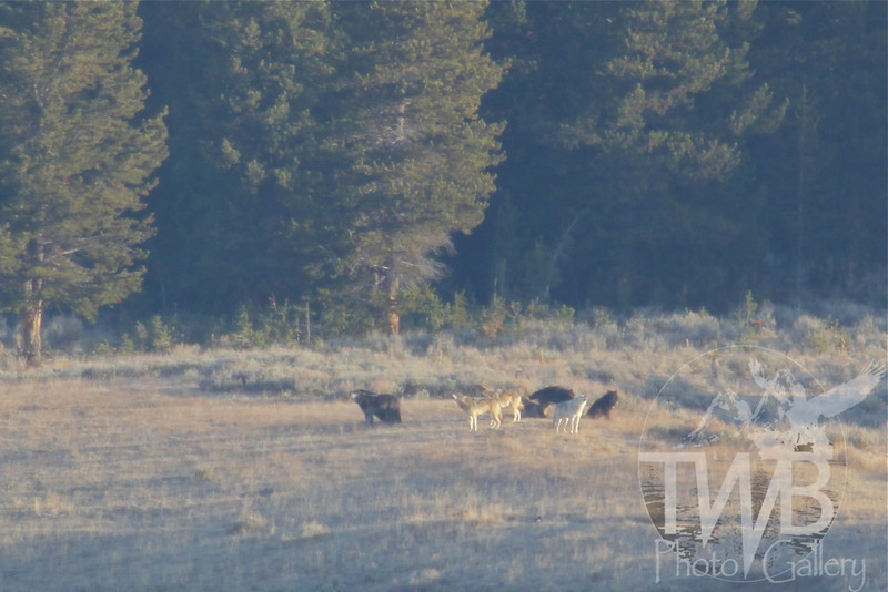"""""""a howling good time"""" ,wolf pack in the Hayden Valley, Yellowstone N.P."""