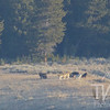 """a howling good time"" ,wolf pack in the Hayden Valley, Yellowstone N.P."