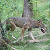 a Red Wolf on the move