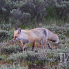 a Red Fox , returning to the den, just west of Moose Junction, Grand Teton N.P., Wyoming