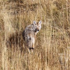 a Coyote hunting in Yellowstone