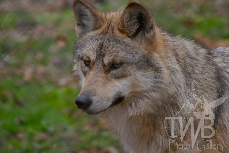 the intense look of a Mexican Gray Wolf