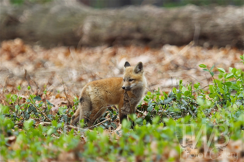Red Fox kit in the moment