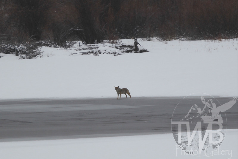testing the ice , a Coyote at Oxbow Bend, Grand Teton N.P.