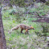 a Swift Fox pauses for a brief moment in time, Yellowstone N.P.
