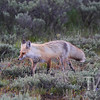the Tetons offer a nice home to this fox