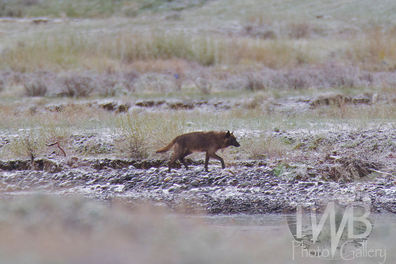 early morning walk in Lamar Valley, the wolf stays at alert