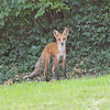 "a Kirkwood , Missouri  ""new resident""  a long legged male fox"