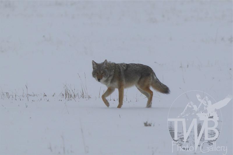 """cautious but  alert "", a Coyote travels solo through the plains"