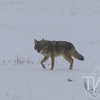 """cautious but  alert "", a Coyote travels solo through the plains"