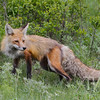 a Swift Fox shedding it's winter coat,Yellowstone N.P.