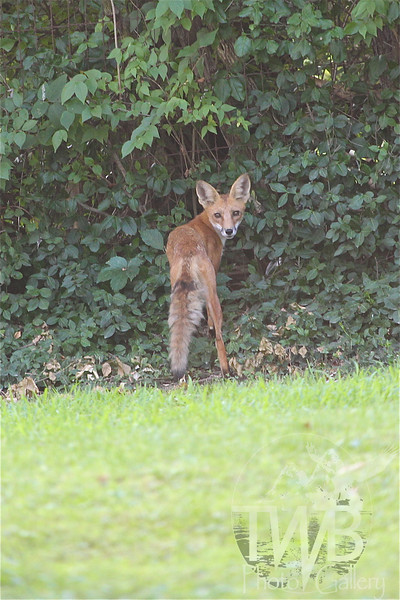 """long Legs"" a backyard visitor"