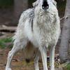 an evening howl