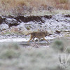 heading back to the pack, a grey Lamar wolf travels the brisk valley waters