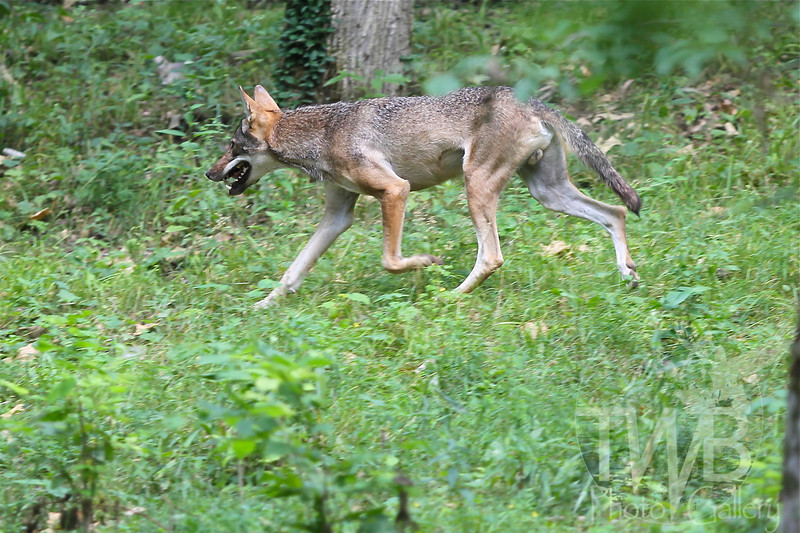 on a mission , a Red Wolf strides confidently through his environment