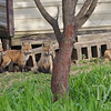 4 red fox kits , alert and waiting for mom