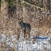 Coyote CVNP 0153