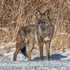 Coyote CVNP 0604