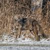 Coyote CVNP 0312