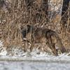 Coyote CVNP 0313