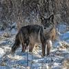 Coyote CVNP 0054