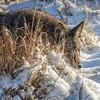 Coyote CVNP 0106