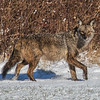 Coyote CVNP 0673