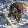 Coyote CVNP 0108